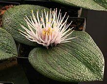 Massonia pustulata - Wikipedia, the free encyclopedia