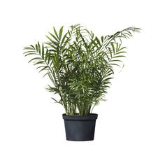 IKEA Chamaedorea Elegans ($7.99) ❤ liked on Polyvore featuring plants, flowers, fillers, backgrounds, decor and potted plant