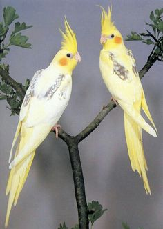 Are you considering a cockatiel as a pet? Here we talk about the care of a cockatiel, a cockatiels health, a cockatiels diet, how to bond with your cockatiel… Kinds Of Birds, All Birds, Love Birds, Pretty Birds, Beautiful Birds, Animals Beautiful, Animals And Pets, Cute Animals, Especie Animal
