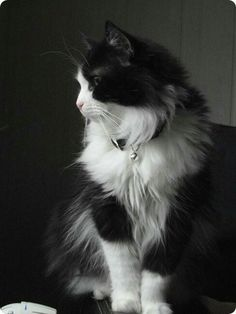 Image result for tuxedo cat