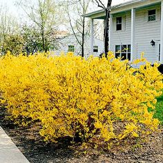 Forsythia / Blooms yellow for 2 weeks each year.  The rest of the year, there are shiny green leaves.