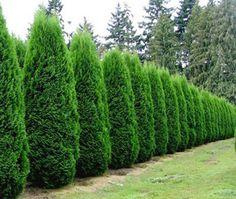 Emerald Green Arborvitae.  Love this line of green!