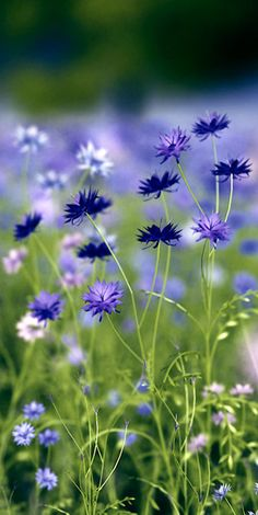 163 Beautiful Types of Flowers + A to Z With Pictures Types Of Flowers, Wild Flowers, Beautiful Flowers, Colorful Flowers, Field Of Flowers, Summer Flowers, Simply Beautiful, Purple Flowers, Meadow Garden