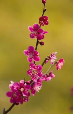 ~~Red Plum by * Yumi *~~