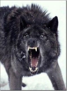 Melanism Wolf