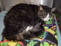 URGENT! WOLVERINE A1099033 MALE, BRN TABBY / WHITE, DOMESTIC MH,1 yr - NYCACC