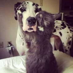"""Wha?"" #dogs #pets #HarlequinGreatDanes #cats Facebook.com/sodoggonefunny"