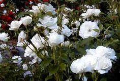 Tietoja kasvista Polyantharuusu 'Schneewittchen', Rosa Polyantha-ryhmä 'Schneewittchen', polyantaros 'Schneewittchen'. Taudinkestävä. Ruusuryhmiin ja penkkeihin.