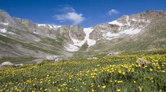 A yellow-wildlower basin along the Mount Evans Scenic Byway near Idaho Springs, Colorado