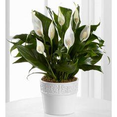 Lírio da paz é uma das plantas para decorar o apartamento com muita elegância e bom gosto