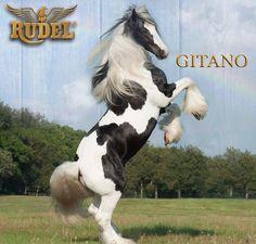 Los caballos gitanos son el resultado de la mezcla de Shires, Clydesdale, frisones, Dales y otras razas de caballos ingleses nativos #Rudel