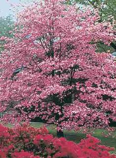 Red Flowering Dogwood (6m high x wide) Pinkish flowers bracts in May Dark green foliage in summer.  Red leaves and fruit in fall.  Native.  Full sun to part shade. Canadale Nurseries Ltd.