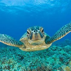 Make your trip to Molokai, #Hawaii with an up-close visit from this friendly sea turtle. Sea Turtle Wallpaper, Ocean Life, Ocean Ocean, Underwater Sea, Underwater Animals, Underwater Photos, Hawaii Hawaii, Hawaii Travel, Summer Travel