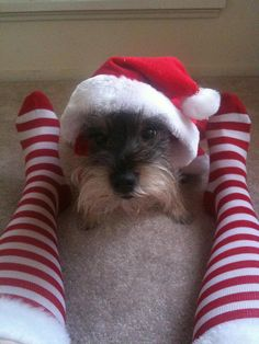 Schnauzer Christmas by andrea.ruggles, via Flickr
