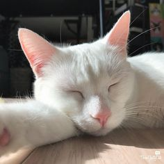 Chatty Cats: Distracted, Bloopers and More beautiful white cat sleeping in sunny spot Animals And Pets, Baby Animals, Funny Animals, Cute Animals, Grey Cats, White Cats, Black Cats, Cat Aesthetic, Cats And Kittens
