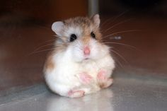 The Roborovski hamster is the smallest, quickest and liveliest species of hamster. A complete guide to the hamsters and their care. Robo Dwarf Hamsters, Funny Hamsters, Cute Little Animals, Cute Funny Animals, Hamster Pics, Small Hamster, Pocket Pet, Tier Fotos, Cute Animal Pictures