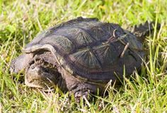 Alligator Snapping Turtle Facts , 6 Alligator Snapping Turtle Facts In Reptiles Category Common Snapping Turtle, Alligator Snapping Turtle, Tortoise Habitat, Turtle Habitat, Animal Facts For Kids, My Animal, Turtle Facts, Yellow Eyes, Reptiles And Amphibians