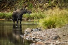 This mama moose may have been checking on her calf, grazing nearby