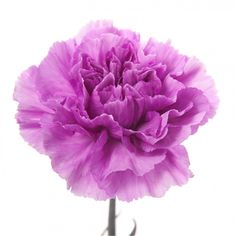 tone purple carnations flower muse