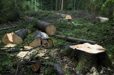 Ungeachtet des Widerstands von Umweltschützern hat die polnische Regierung grünes Licht dafür gegeben, dass in Europas letztem Urwald massiv Bäume gefällt werden können. Umweltminister Jan Szyszko begründete die Entscheidung am Freitag damit, dass so die Verbreitung eines schädlichen Borkenkäfers im