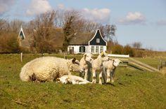 Elk jaar op 2de paasdag is er een Lammetjewandeltocht over Texel.  Wandeltochten van naar keuze 5,10,15,25 of 40km langs duizenden lammetjes in de Texelse weiden.