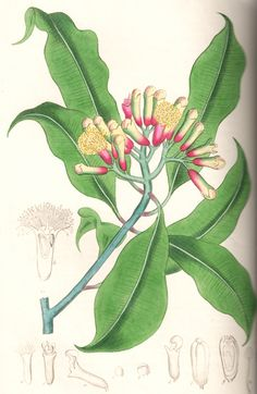 """Clove botanical drawing. From Ed Smith's personal library: Stephenson & Churchill, """"Medical Botany"""": 1834-1836."""