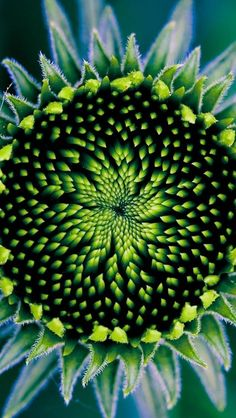 """Sunflower & Seed ~ """"Floral nebula"""" Geometry in nature. Same laws that govern the formation of stars & galaxies govern the patterns in flowers. Exotic Flowers, Amazing Flowers, Beautiful Flowers, Patterns In Nature, Shades Of Green, Blue Green, Aqua Blue, Yellow, Mother Nature"""
