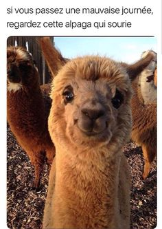 15 Hilarious Alpaca Memes That Will Have You Laughing All Day - World's largest collection of cat memes and other animals Cute Funny Animals, Funny Animal Pictures, Cute Baby Animals, Funny Cute, Best Funny Pictures, Cool Pictures, Funny Pics, Animal Pics, Funny Ideas