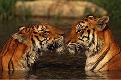 tiger - Sök på Google