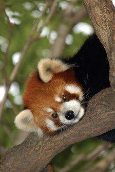 red panda! My favorite animal.