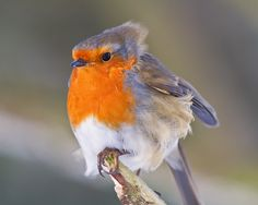"""Robin: """"It's windy today! European Robin, Robin Bird, Watercolor Artwork, Small Birds, Bird Watching, Nature Pictures, Beautiful Birds, It's Windy, Nature Photography"""