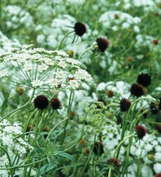 Ammi majus (Bishop's flower) has lacy, white flowers, like a more delicate form of cow parsley. This one is one of our long-standing best sellers.