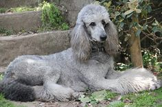 Poodle The Adorable Dog - The Pooch Online I Love Dogs, Cute Dogs, Awesome Dogs, Poodle Drawing, Drawing Drawing, Poodle Cuts, Dogs Of The World, Pitbull Terrier, Dog Life