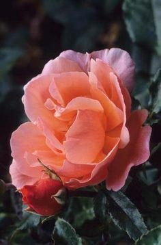 Rosa 'Fragrant Delight' Fotografia de John Glover, uno de los primeros y de los mas importantes fotografos de jardin del Reino Unido