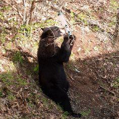 Black bear at our bird feeders having a snack from our bird feeders when living in Monson, MA #monson #massachusetts #blackbear #animals #wildlife #instagram