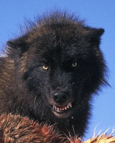This is my snarl when I have a bad hair day as well.
