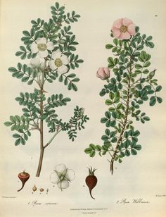 v. 2 Plates - Illustrations of the botany and other branches of the natural history of the Himalayan Mountains : - Biodiversity Heritage Library