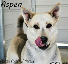Meet Aspen a Petfinder adoptable Husky Dog | Uniontown, PA | For more info please contact FFOA @ 724-245-7815