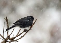 Junco in a Blizzard by gladner1 #nature #mothernature #travel #traveling #vacation #visiting #trip #holiday #tourism #tourist #photooftheday #amazing #picoftheday
