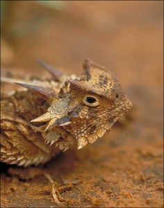 Texas Horned Lizzard Watch - Disappearing childhood memory -  Report your sightings here...