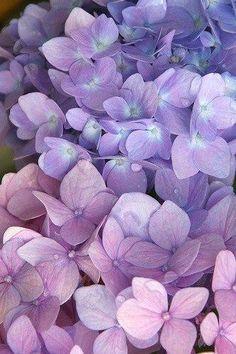 """chasingrainbowsforever: """"Hydrangea ~ rosado y púrpura"""""""