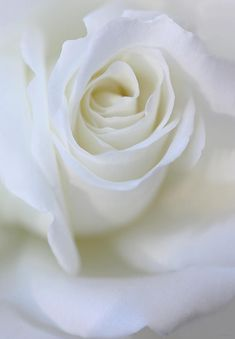 """""""White Rose Floral Whispers Photograph"""" (quote)"""