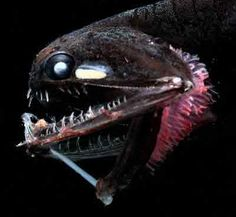 This deep-sea fish, Photostomias guernei, has a built-in bioluminescent flashlight it uses to help it see in the dark.