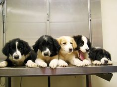 English Shepherd Puppies...definitely one of my favorite breeds