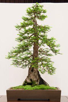 bonsai redwood tree (3)