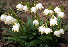 Ghiocelul - floare simbol al primaverii - sursa poza merg. Herbs, Exterior, Garden, Nature, Bulbous Plants, Bonito, Morning Glories, Garten, Naturaleza