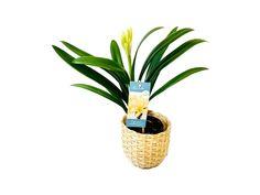 "Clivia Miniata Var. Citrina Clivia ""Yellow Star"" - Klívie se žlutým květem - KytkaSem Yellow, Plants, Plant, Planets"