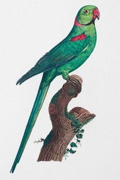 Rose Ringed Parakeet Parrot Art Prints Bird Prints   Etsy Tropic Jungle, Parrot Drawing, Good Morning Image Quotes, Bird Wall Art, Illustration Art, Illustrations, Drawing Artist, Vintage Birds, Monster Hunter