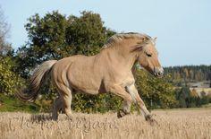 Fiordskaya - photos - equestrian.ru