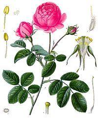 Hundrabladsrosor eller provencerosor (Rosa ×centifolia)